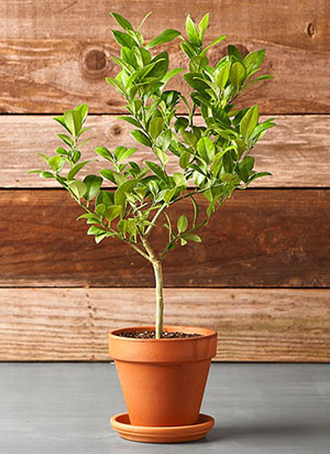 Highest Quality Dwarf Key Lime Trees You Can Find Online!